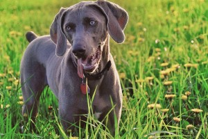 weimaraner wallpapers dog