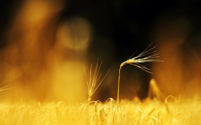 wheat field macro