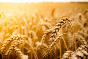 wheat field macro wallpaper