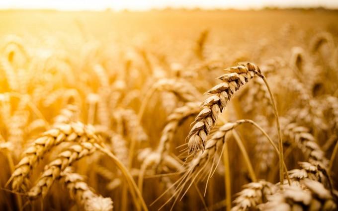 wheat field macro wallpaper