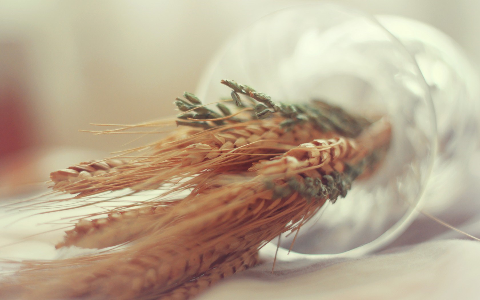wheat macro wallpaper