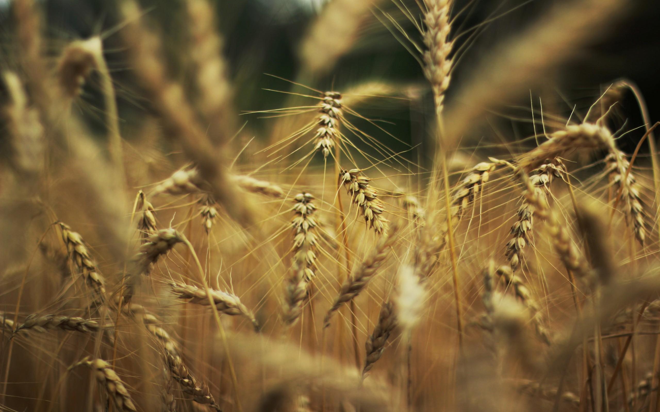Wheat Macro - HD Desktop Wallpapers
