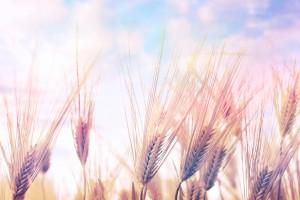 wheat nature