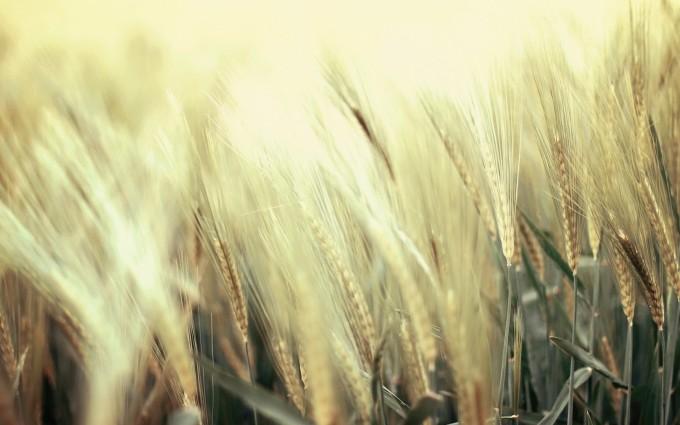 wheat wallpaper A2