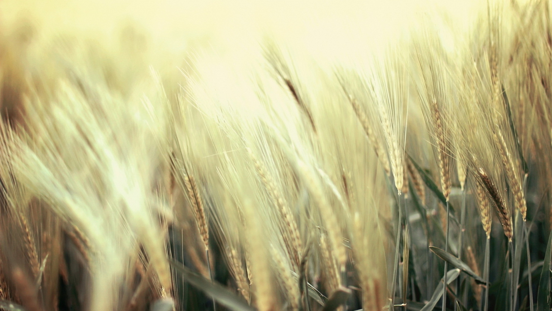 wheat wallpaper A2