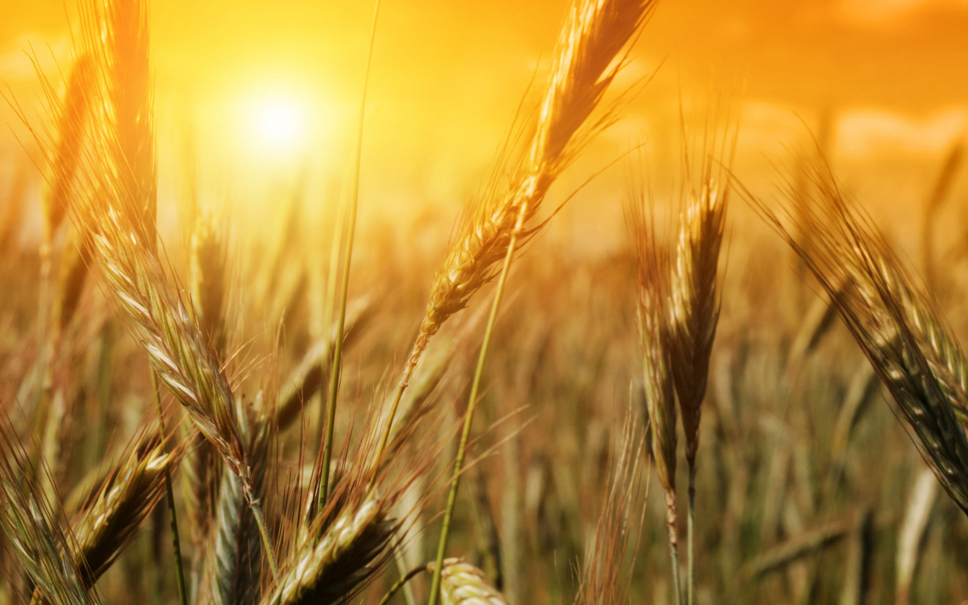 wheat wallpaper backgrounds