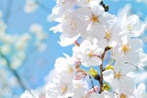 white blossoms nature