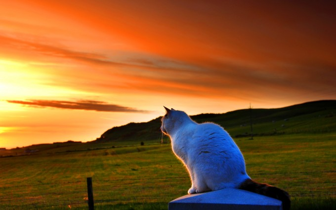 white cat sunset