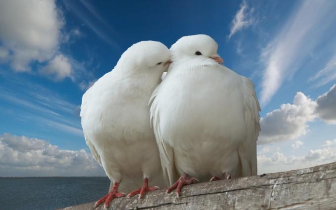 white dove image