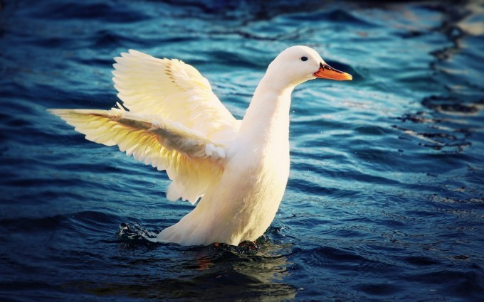 white duck images