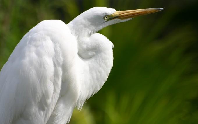 white heron wallpaper