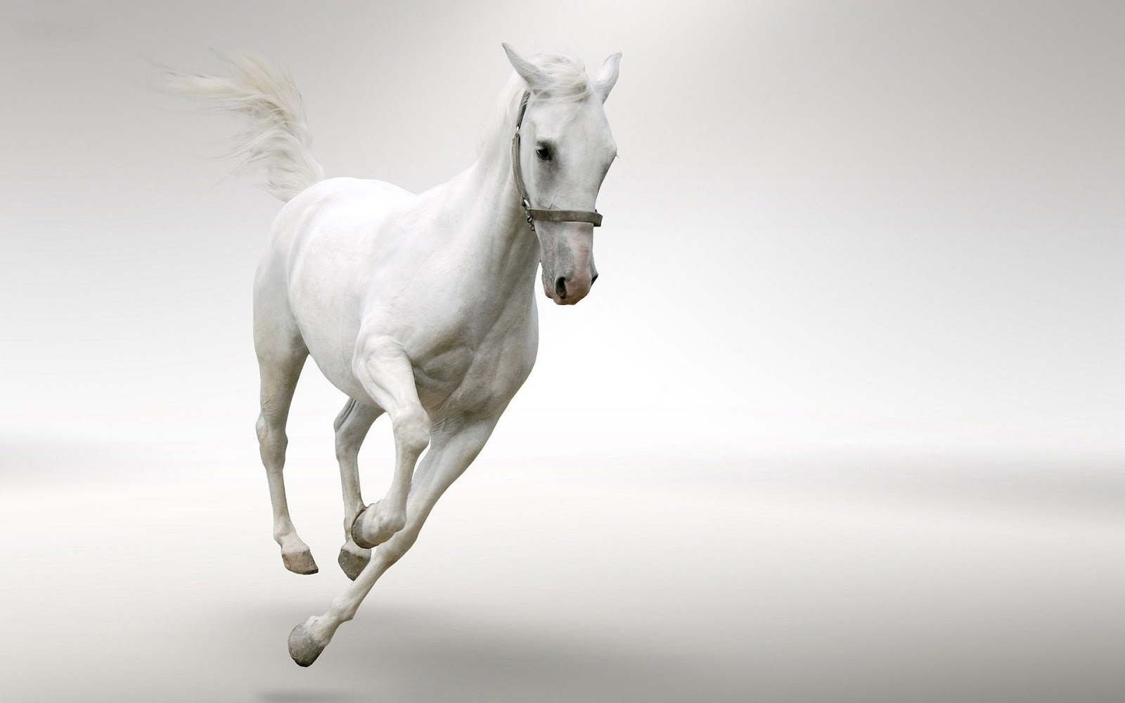 white horse beautiful