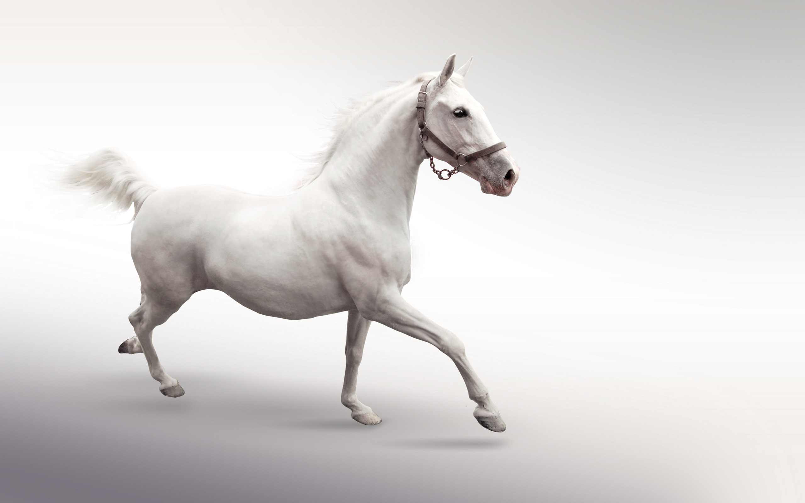 white horse desktop background