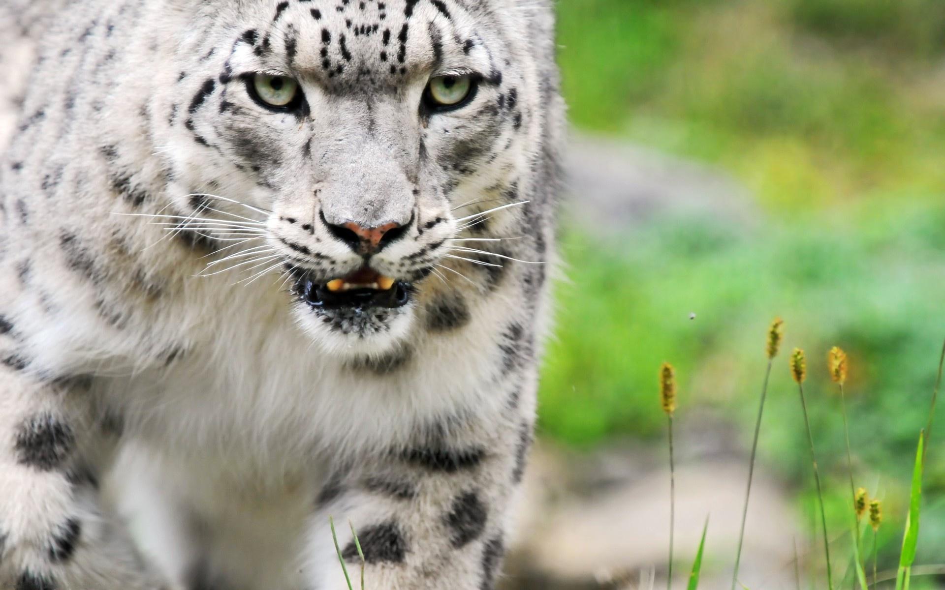 white leopard hd