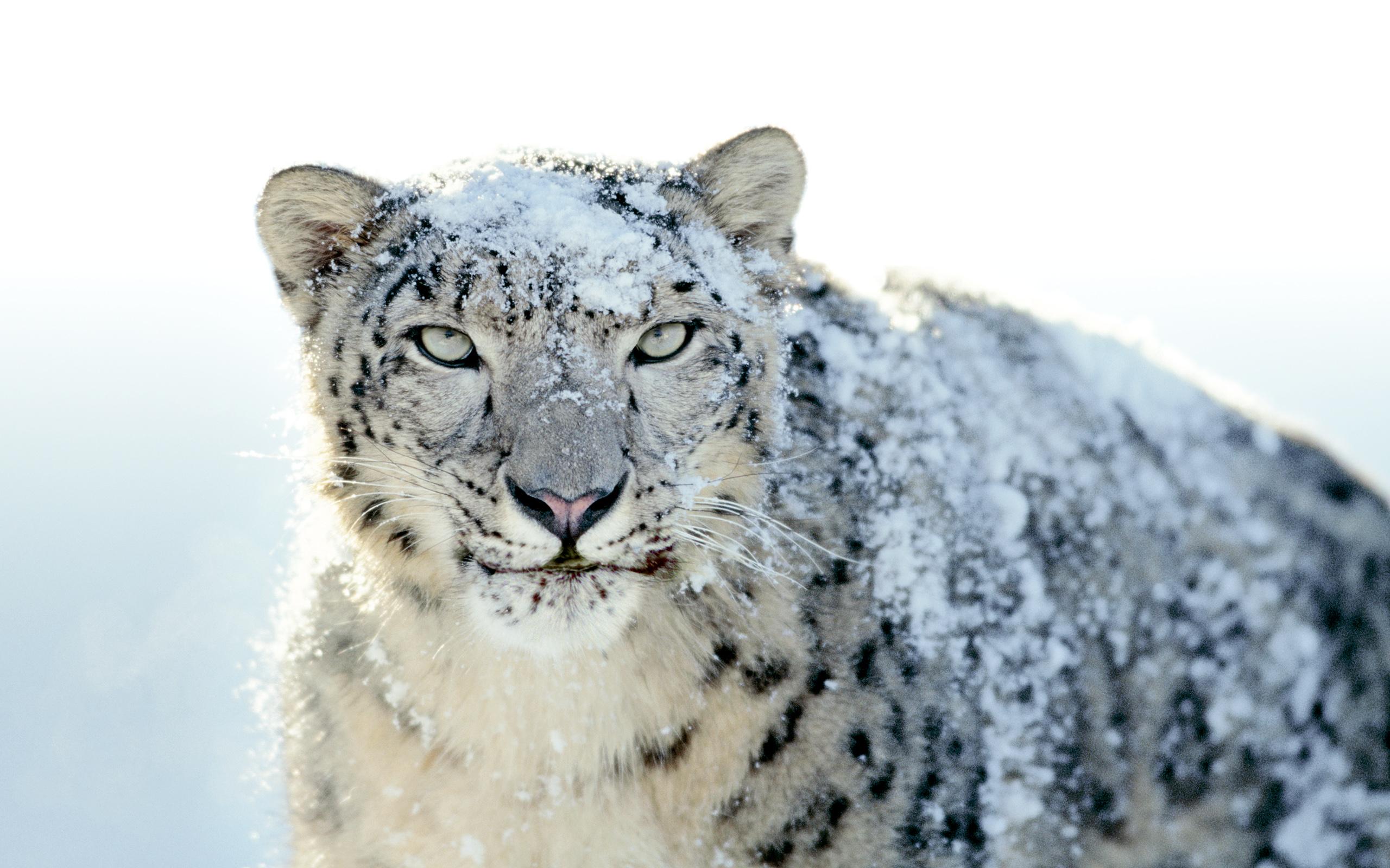 white leopard