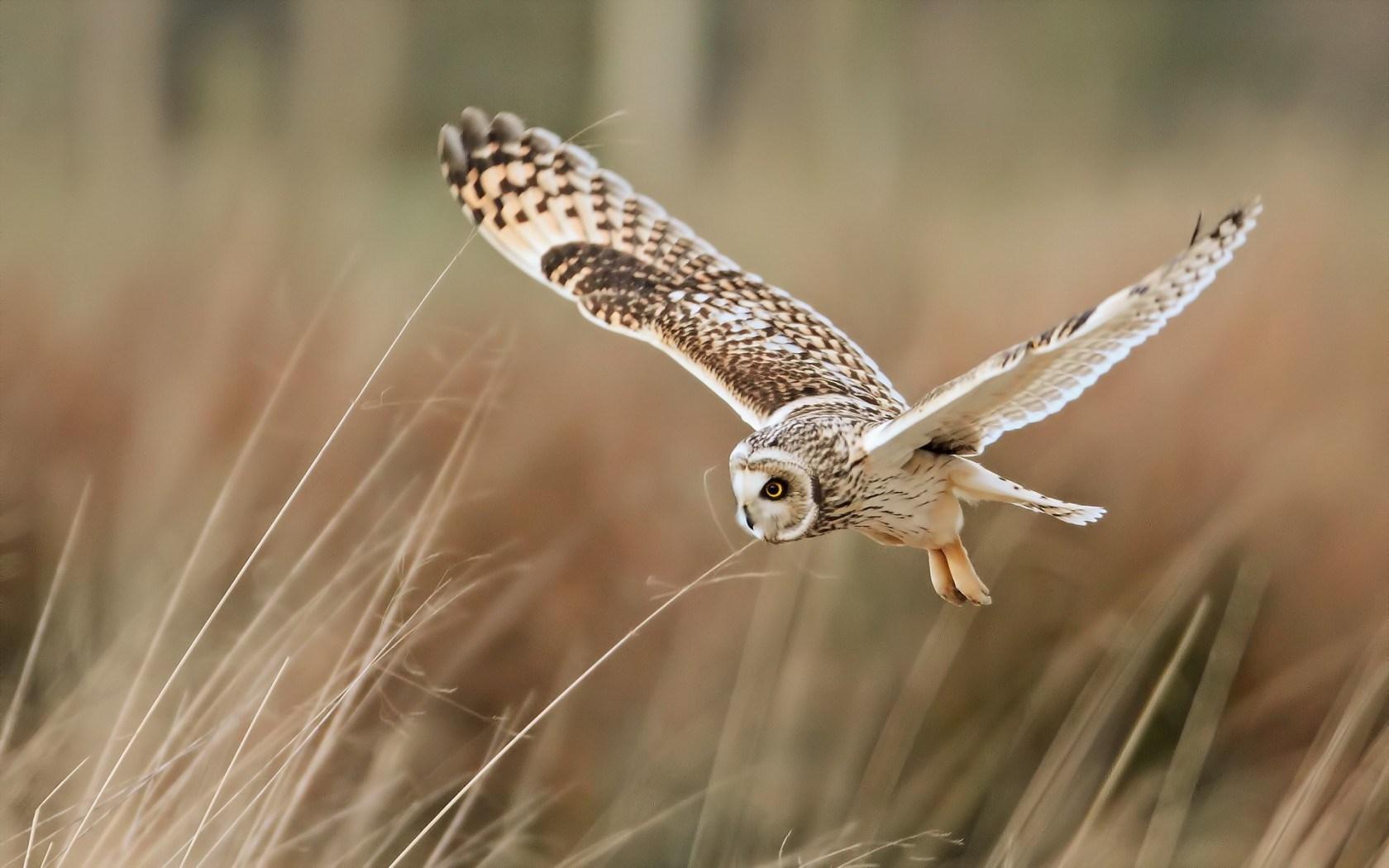 owl wallpaper hd 1366x768