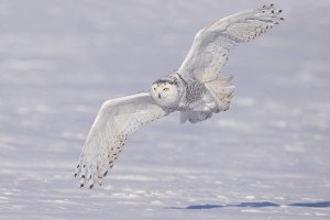white owl winter