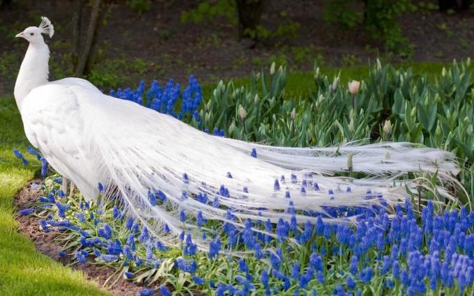 white peacock beautiful
