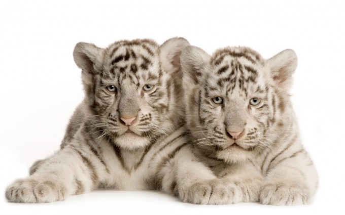white tiger baby cub
