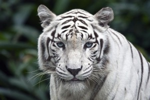 white tiger background