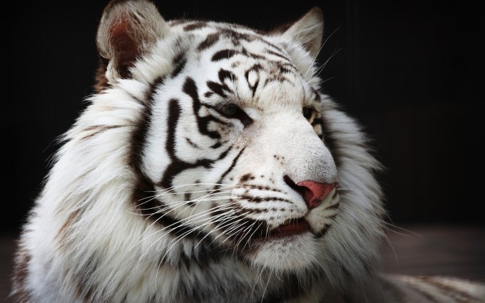 white tiger cute