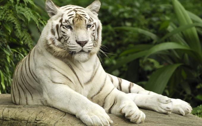 white tiger hd