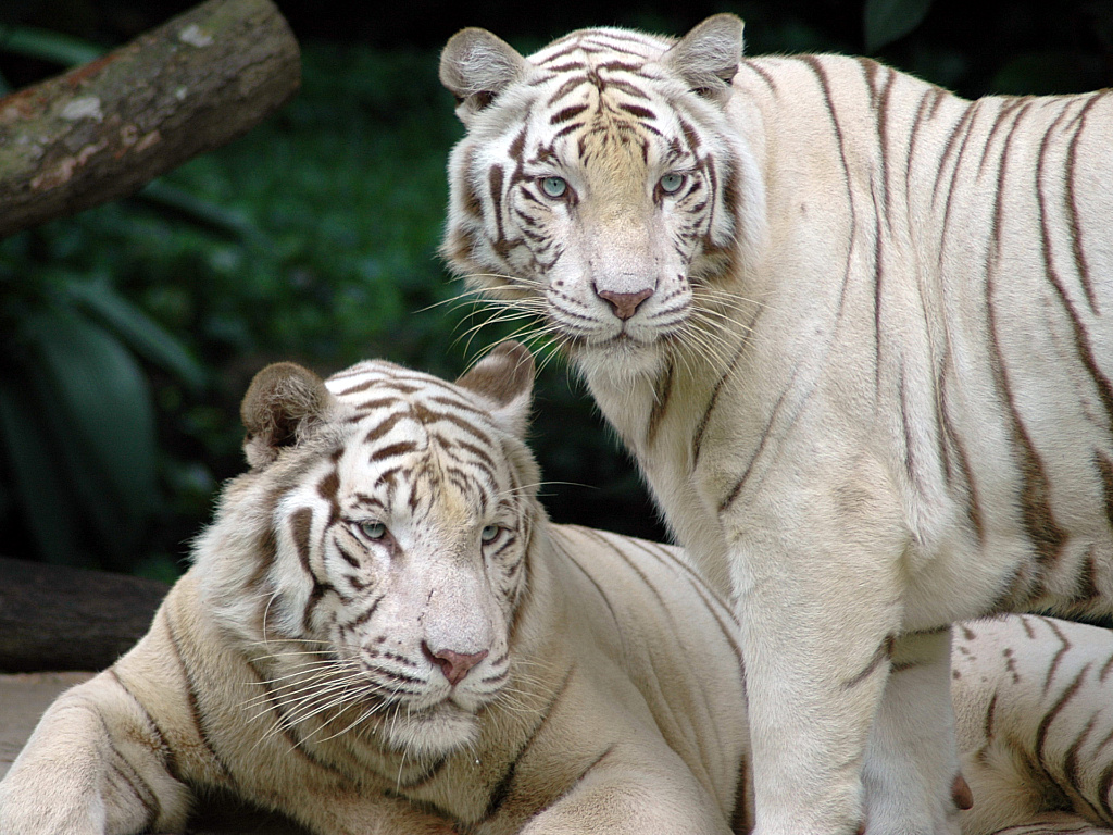 white tiger nature