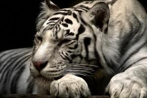 white tiger wallpaper free download