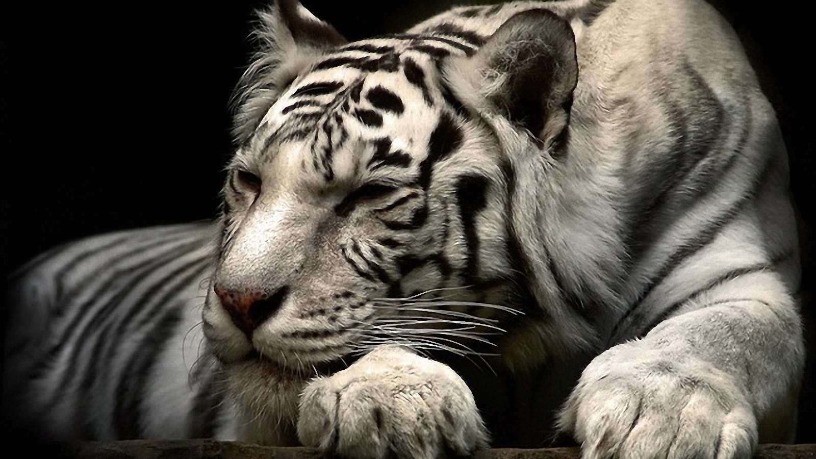 white tiger wallpaper free download