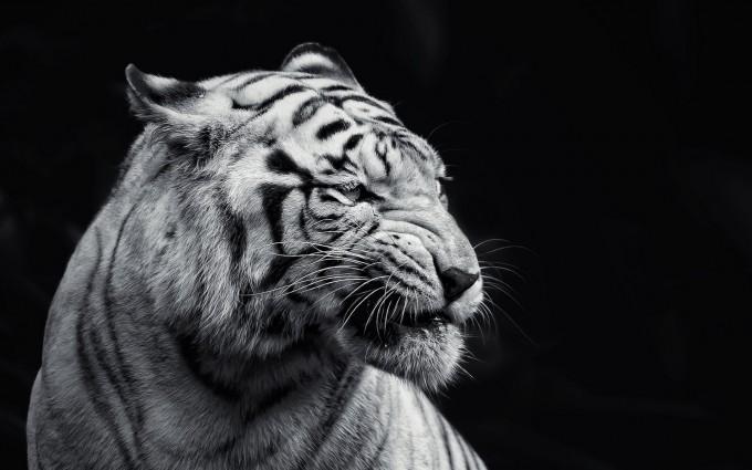 white tigers wallpaper