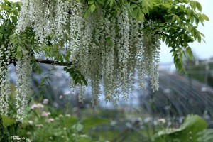 white wisteria wallpapers