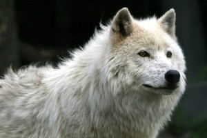 white wolf wallpaper A9