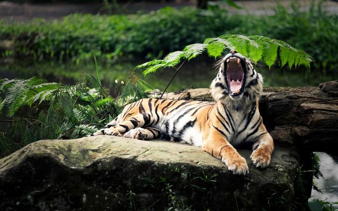 wild tiger wallpaper