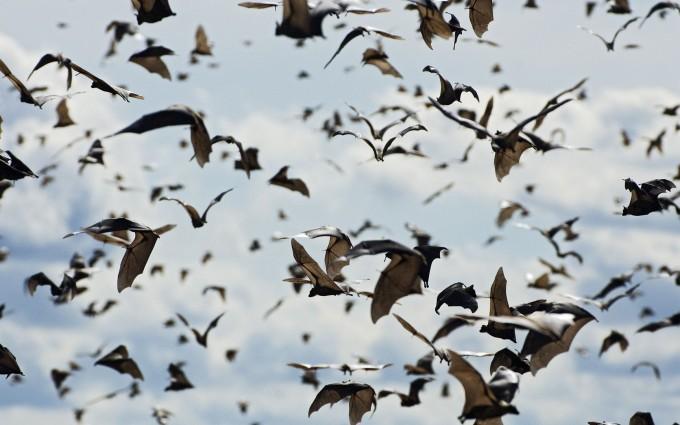 Straw-colored Fruit Bat (Eidolon helvum) swarm, Kasanka National Park, Zambia
