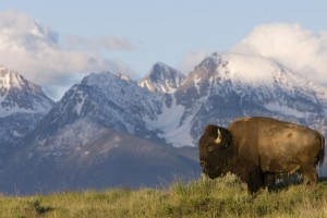 wildlife wallpaper bison