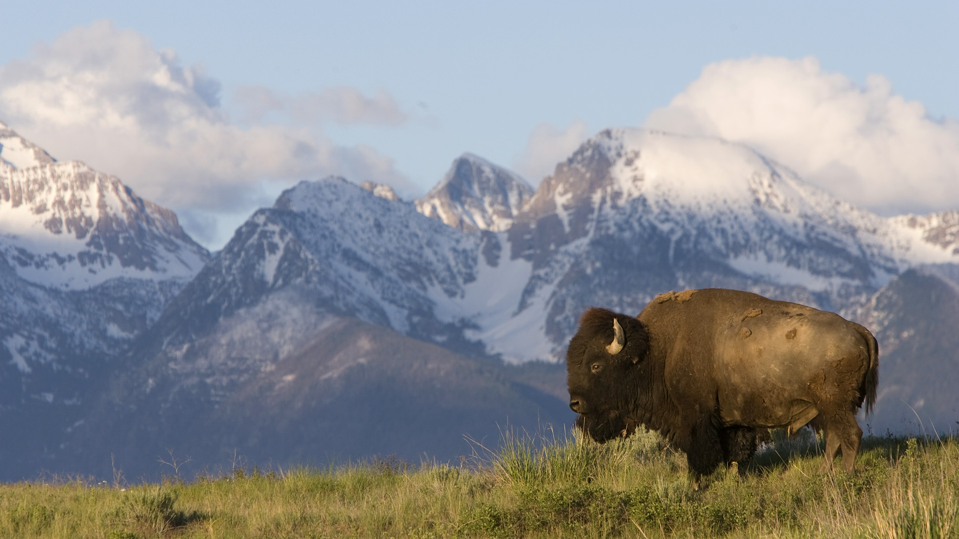 American Bison (Bison bison) bull standing against the Mission Mountains, Moise, Montana