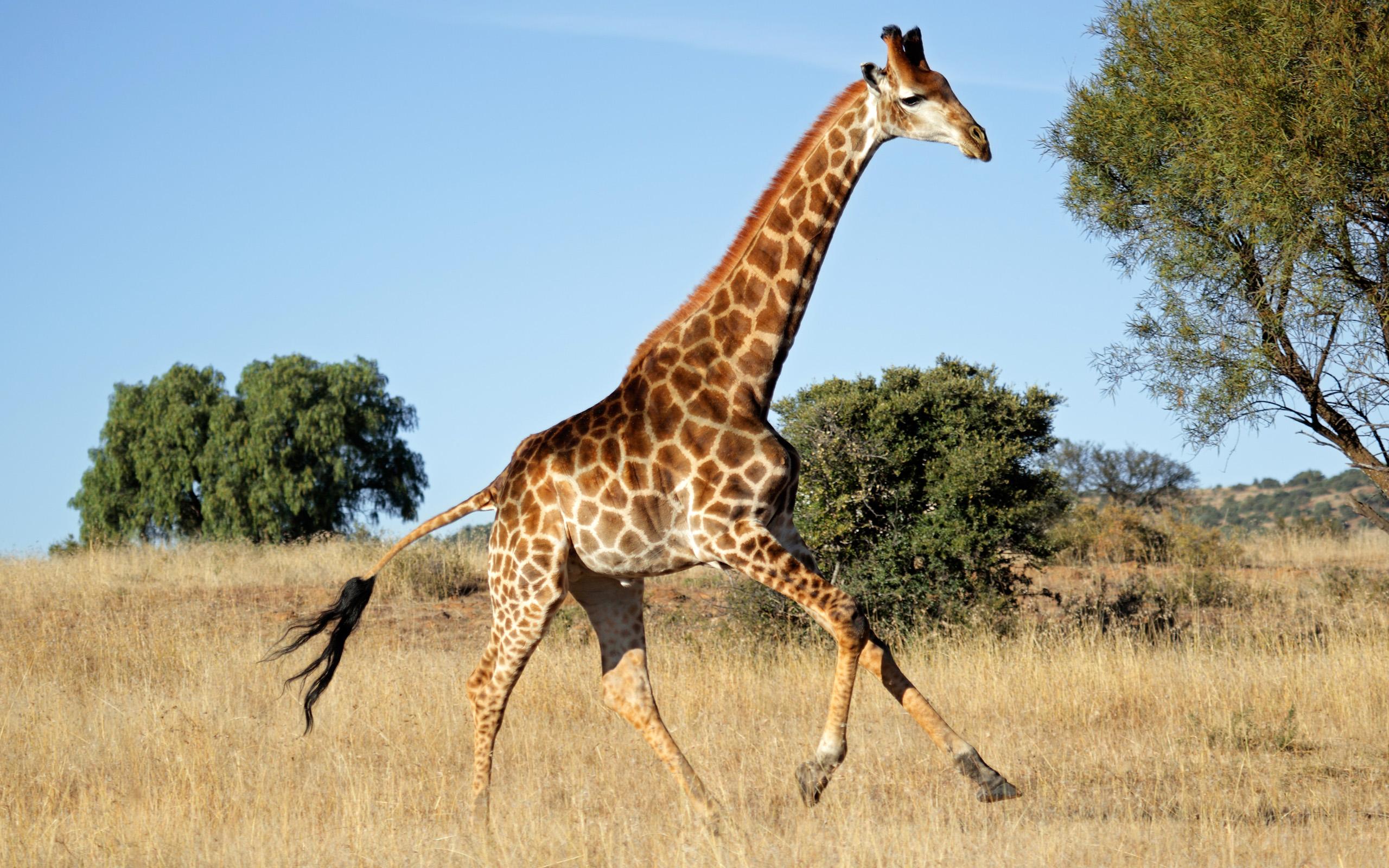Giraffe (Giraffa camelopardalis) running on the African plains, South Africa