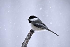 winter great titmouse