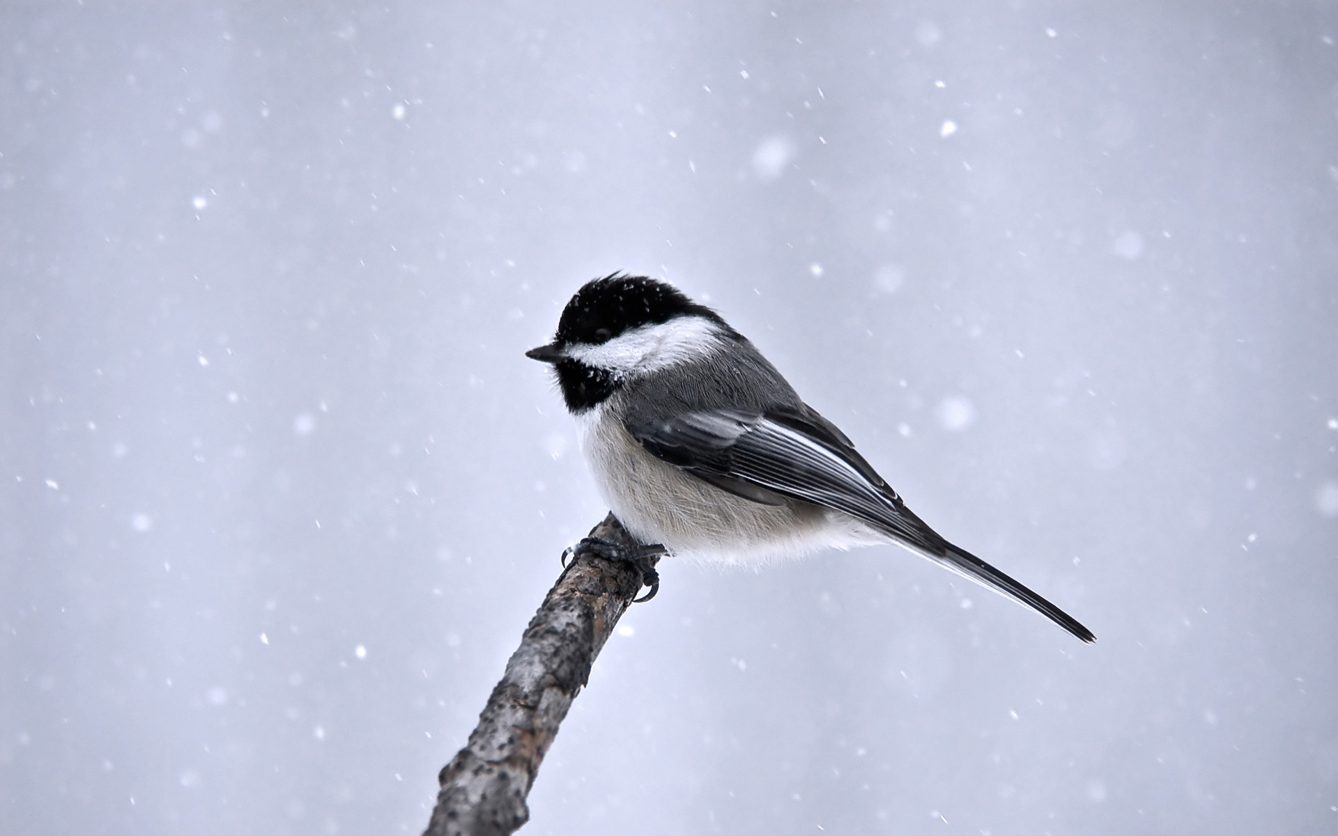 winter great titmouse