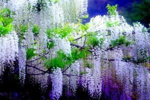 wisteria A2