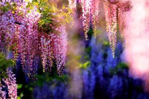 wisteria A3