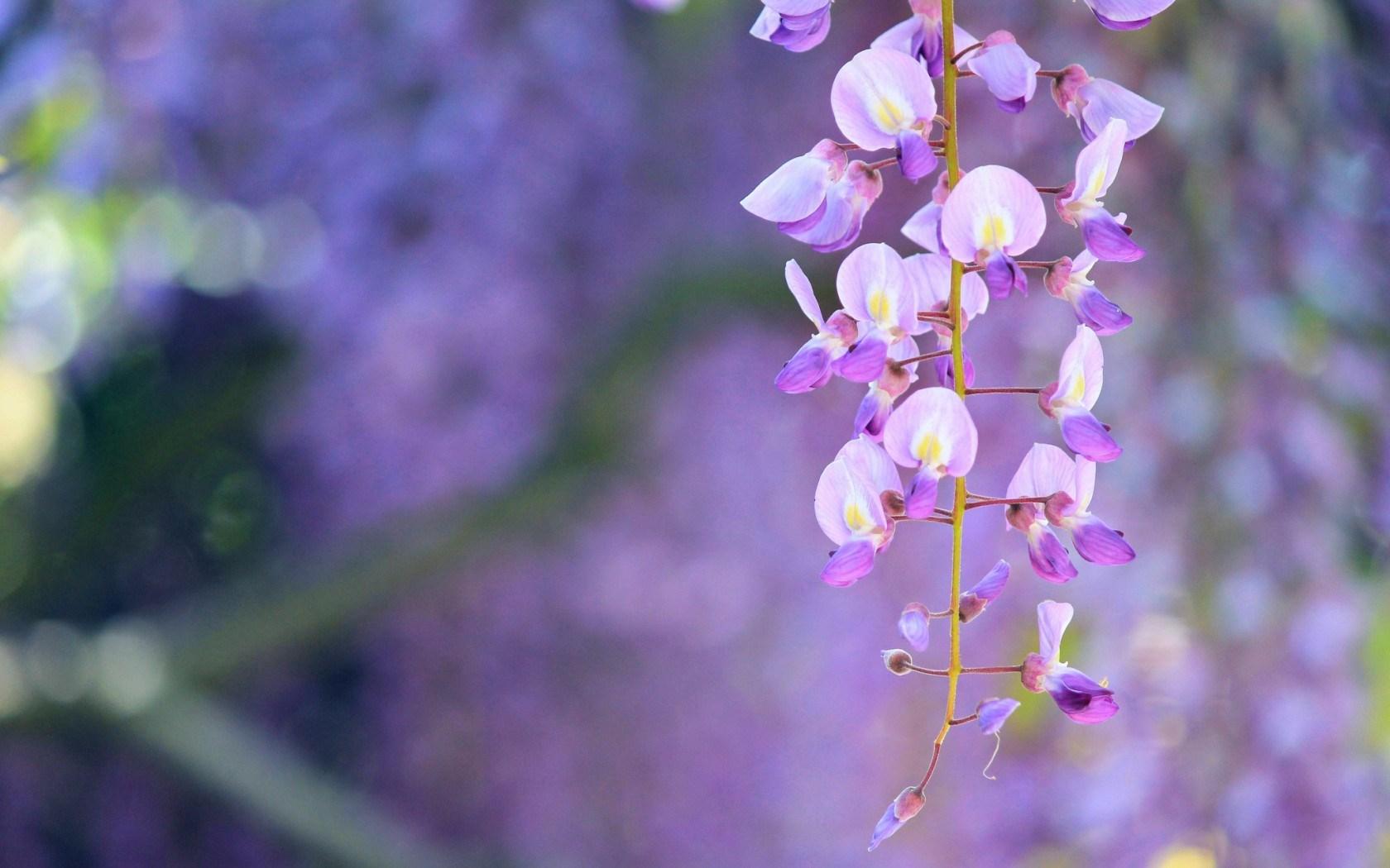 wisteria desktop