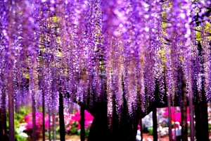 wisteria images