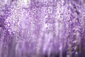 wisteria purple