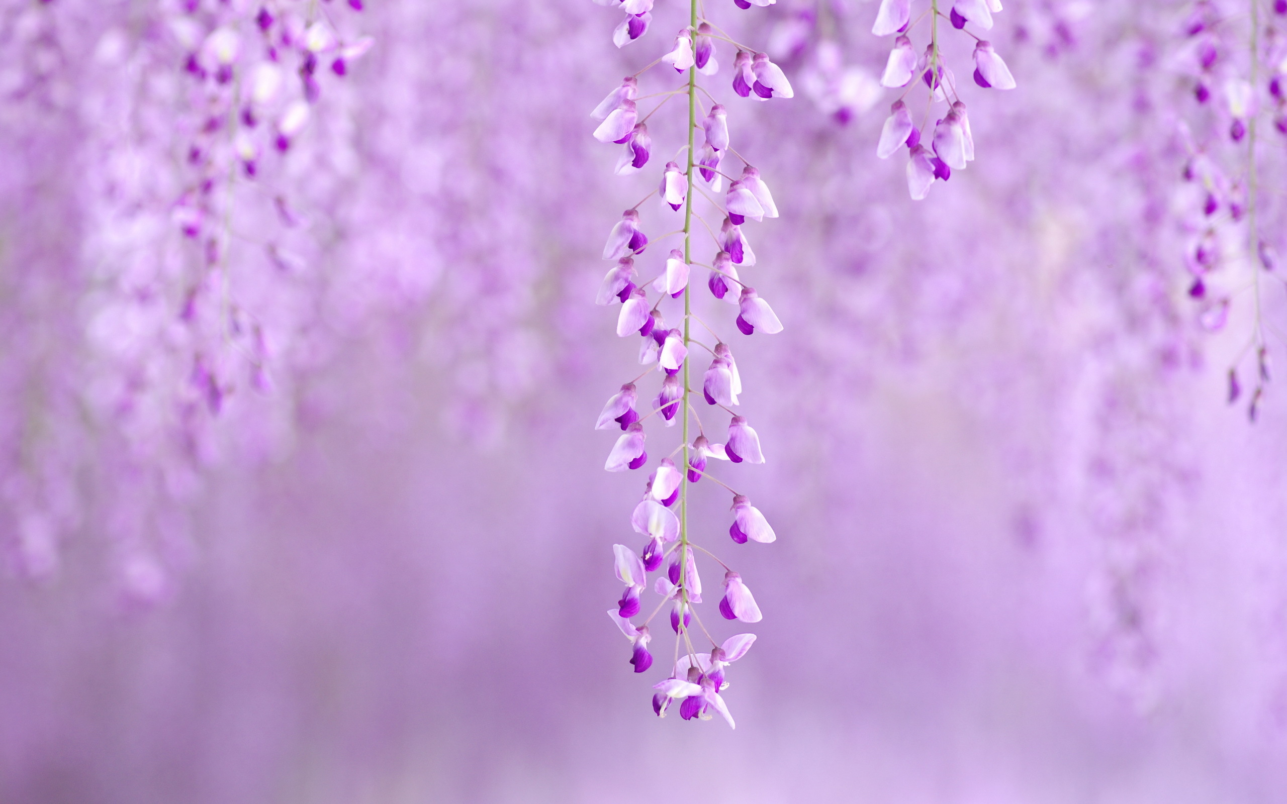 wisteria wallpaper A1