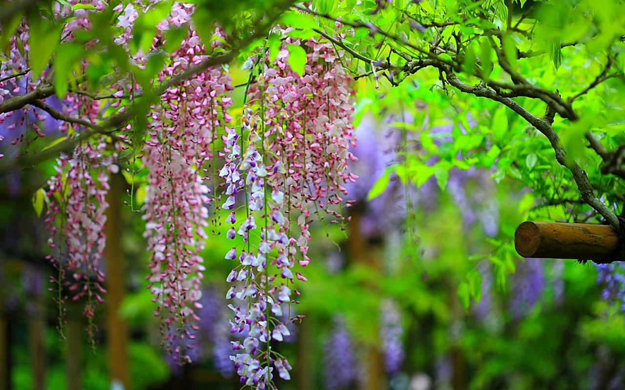 wisteria wallpaper hd