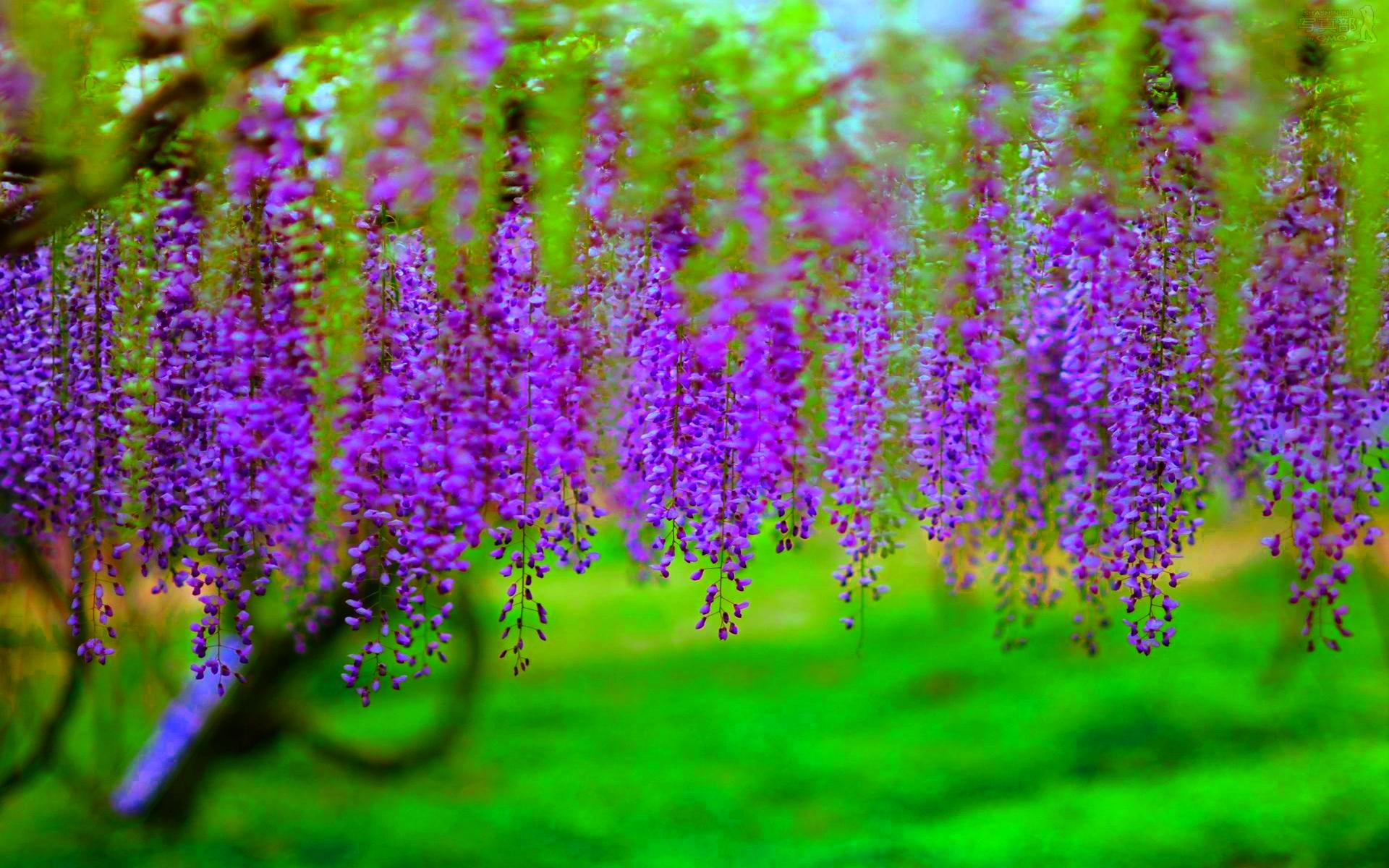 wisteria hd desktop wallpapers 4k hd