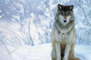 wolf pictures A1