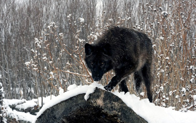 wolf pictures A10