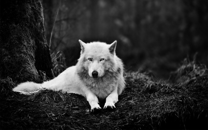 wolf pictures A3